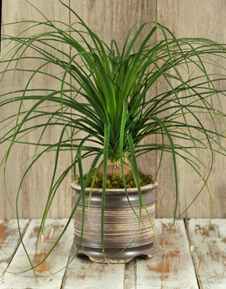 Picture of Ponytail Palm in Ceramic Pot