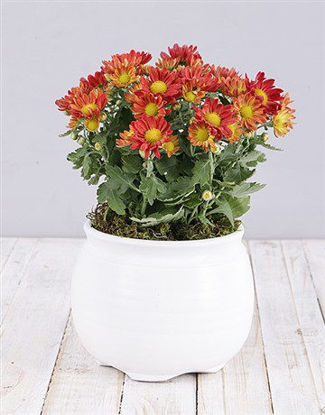 Picture of Orange Chrysanthemum Plant in White Pot