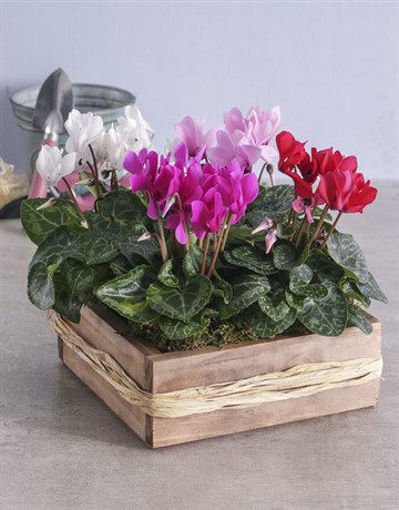 Picture of Mixed Cyclamen in Wooden Crate