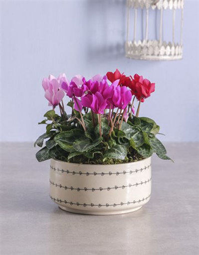 Picture of Mixed Cyclamen in Heart Ceramic