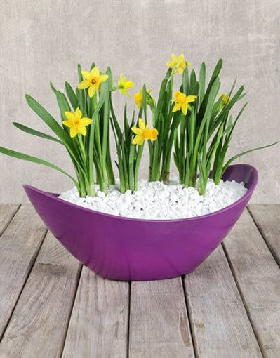 Picture of Daffodil Plant in Purple Boat Vase